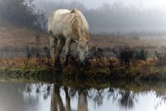 Cavalo Camargue Fotos de Stock Royalty Free