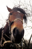 Cavalo cansado velho Imagens de Stock