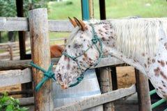 Cavalo caseiro Fotos de Stock Royalty Free