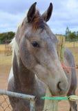 Cavalo cinzento Imagens de Stock