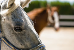 Cavalo cinzento Foto de Stock Royalty Free