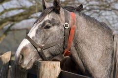 Cavalo cinzento Fotos de Stock Royalty Free