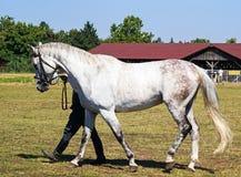 Cavalo cinzento Imagem de Stock Royalty Free