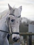 Cavalo cinzento do adestramento que está sendo montado em um freio do snaffle Imagens de Stock