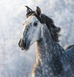 Cavalo cinzento do espanhol do puro-sangue Fotos de Stock Royalty Free
