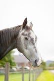 Cavalo cinzento em um prado Foto de Stock Royalty Free