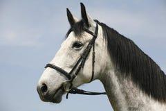 Cavalo cinzento fleabitten bonito com o chicote de fios de couro no verão c Fotografia de Stock