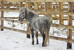 Cavalo cinzento pequeno que anda no prado Fotografia de Stock