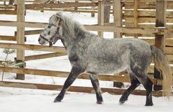 Cavalo cinzento pequeno que anda no prado Fotos de Stock