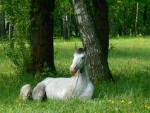 Cavalo cinzento que dorme na grama verde Imagens de Stock Royalty Free