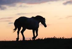Cavalo cinzento que funciona no monte no por do sol Imagens de Stock