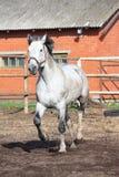 Cavalo cinzento que trota no prado Fotos de Stock