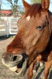 Cavalo com boca aberta foto de stock