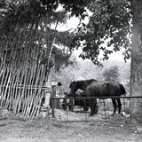 Cavalo com carro atrás da cerca de vime sob a árvore no verão Imagens de Stock Royalty Free