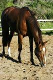 Cavalo com fome Imagem de Stock Royalty Free