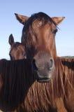 Cavalo com olhar irritado Imagem de Stock Royalty Free