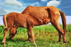 Cavalo com potro Imagens de Stock Royalty Free