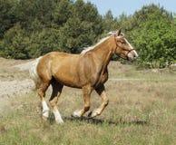 Cavalo com suportes brancos longos de uma juba no campo imagens de stock royalty free