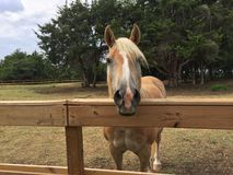 Cavalo considerável do Palomino fotos de stock