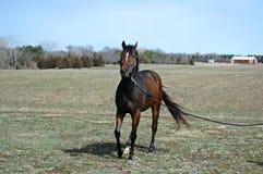 Cavalo consideravelmente novo Imagem de Stock Royalty Free