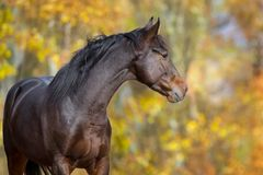 Cavalo contra árvores do outono Fotos de Stock