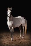 Cavalo Cor cinzenta de Trakehner no fundo escuro com areia Imagens de Stock Royalty Free