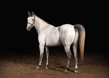 Cavalo Cor cinzenta de Trakehner no fundo escuro com areia Imagem de Stock