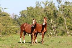 Cavalo curioso do jovem dois que está no pasto Imagens de Stock Royalty Free