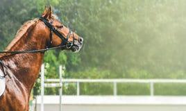 Cavalo da azeda durante a competição do showjumping A cabeça da vista lateral disparou de um garanhão bonito da castanha Foto de Stock