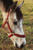 Cavalo da beleza Imagens de Stock Royalty Free
