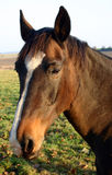 Cavalo da castanha Foto de Stock Royalty Free