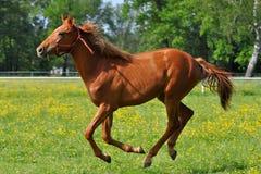 Cavalo da castanha em um galope imagens de stock