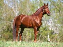 Cavalo da castanha que está no campo Fotografia de Stock Royalty Free