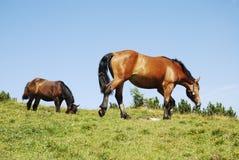 Cavalo da consultação Fotos de Stock