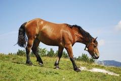 Cavalo da consultação Fotos de Stock Royalty Free