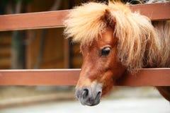Cavalo da miniatura da testa Imagens de Stock Royalty Free