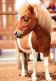 Cavalo da miniatura da testa Fotos de Stock Royalty Free