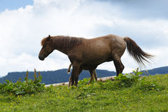 Cavalo de alimentação do bebê do cavalo da mãe Imagem de Stock