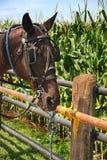 Cavalo de Amish fotografia de stock royalty free
