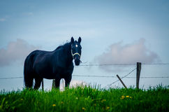 Cavalo de Amish imagem de stock royalty free