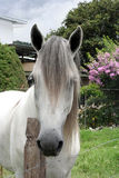 Cavalo de Andalucian Foto de Stock