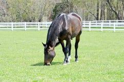 Cavalo de baía Imagens de Stock