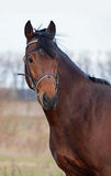 Cavalo de baía bonito Fotografia de Stock