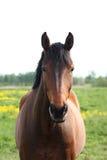 Cavalo de baía bonito no campo Imagens de Stock