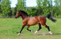 Cavalo de baía bonito que corre no campo fotografia de stock royalty free