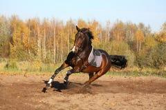 Cavalo de baía bonito que galopa no outono Fotos de Stock