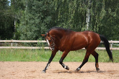 Cavalo de baía bonito que trota no campo Fotografia de Stock