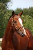 Cavalo de baía com o retrato do freio no verão Foto de Stock