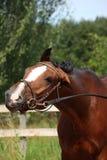 Cavalo de baía com o retrato engraçado do freio no verão Imagens de Stock