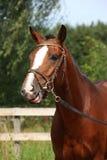 Cavalo de baía com o retrato engraçado do freio no verão Imagens de Stock Royalty Free
